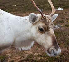 The Cairngorm Reindeer  Scotland by Keith Larby