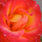 Red Orange Rose Close Up by Christine Chase Cooper
