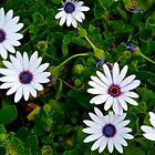 Daisies by Christine Chase Cooper