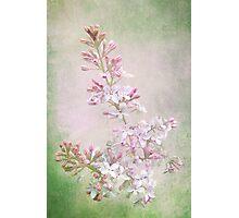 Vintage Lilac Photographic Print