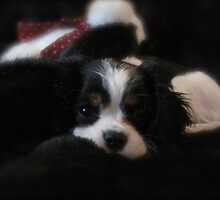 The Cavalier King Charles Spaniel by Christine  McClintock