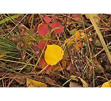 The Aspen Leaf Photographic Print