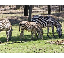 Zebra Grazing, Western Plains Zoo. Dubbo, New South Wales. Photographic Print