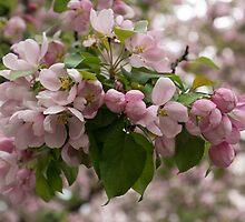 Blossoms and Buds - Springtime Apple Tree by Georgia Mizuleva