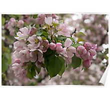Blossoms and Buds - Springtime Apple Tree Poster