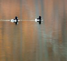 Ring Necked Ducks by Bill Wakeley