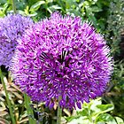 Purple Allium by looneyatoms