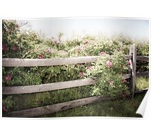 Fence Draped in Rosa Rugosa Poster