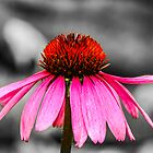 Purple Coneflower - SC by mcstory