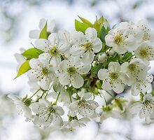 Sour Cherry Flowers by TOM KLAUSZ