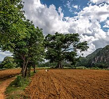 The Sacred Ceiba watching over the crops in Vinales by MarcW