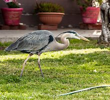 Great Blue Heron by Ron LaFond