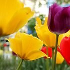tulips by motiashkar