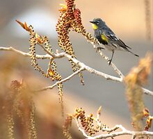 Yellow Rumped Warbler In Spring by Kgphotographics
