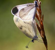 Wood White mating by jimmy hoffman