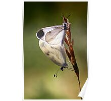 Wood White mating Poster