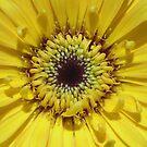 Inside A Gerbera Flower by stevealder