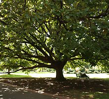 Fitzroy Tree by kalaryder