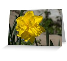 Sunny Yellow Spring - a Golden Double Daffodil Greeting Card