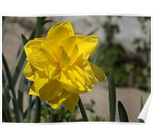 Sunny Yellow Spring - a Golden Double Daffodil Poster