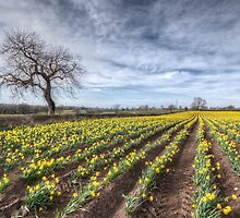 Spring Daffodils by Mike Hardisty