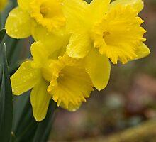 Spring Daffodils by Lynn Gedeon