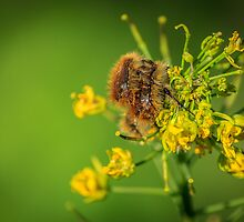 HAIRY INSECTS 3  by PhotoShopping
