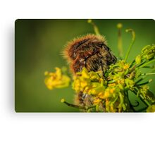 HAIRY INSECTS 4  Canvas Print