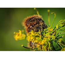 HAIRY INSECTS 4  Photographic Print