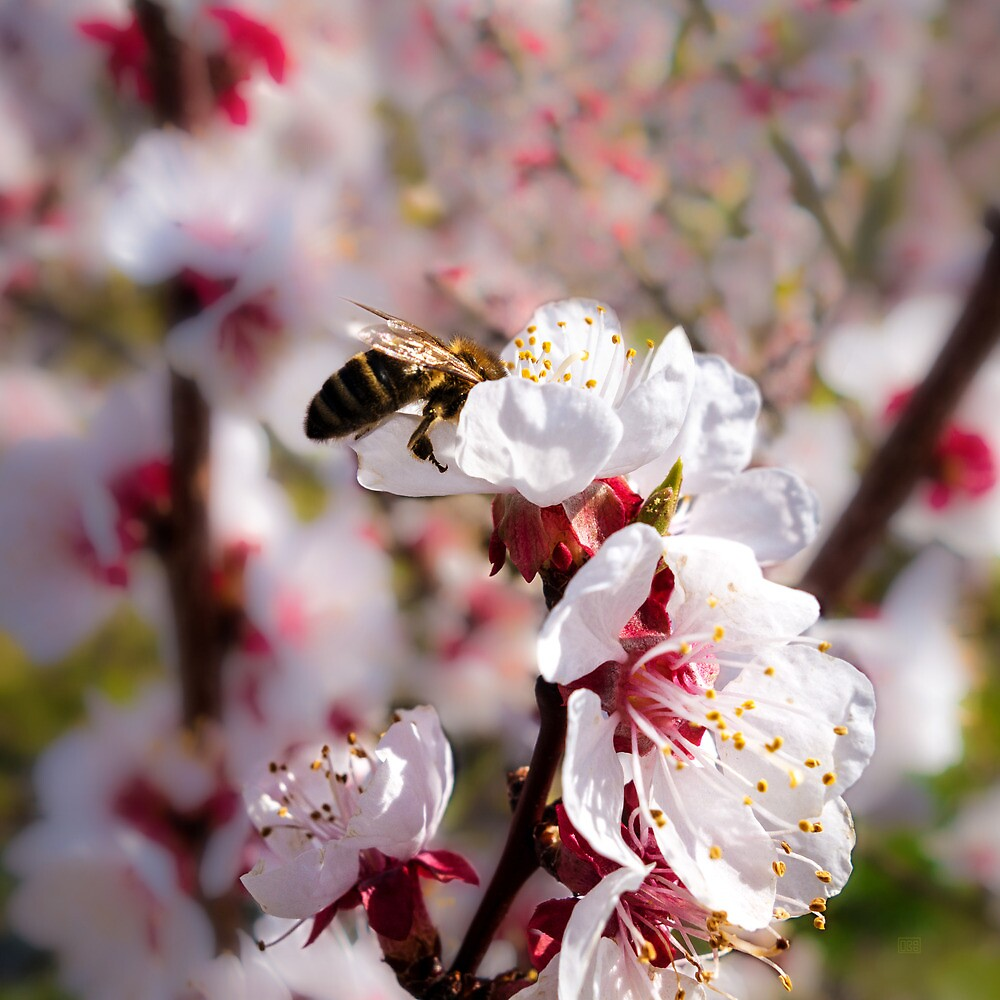 Spring - Apricot Blossoms With Busy Bee by Menega  Sabidussi