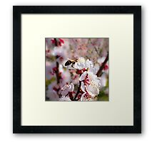 Spring - Apricot Blossoms With Busy Bee Framed Print