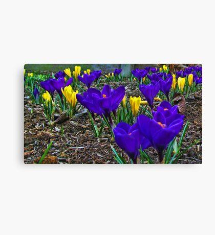 Crocus Of Spring Canvas Print