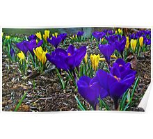 Crocus Of Spring Poster