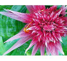 Raspberry Spike Photographic Print