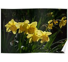 Sunny, Windy Spring Garden with Daffodils Poster