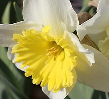 Spring Daffodil by Sheryl Hopkins