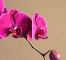 Magenta Orchids Sticker