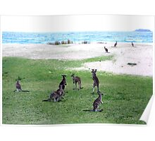 Roos On A Beach Poster
