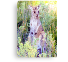 Eastern Grey Kangaroo Canvas Print