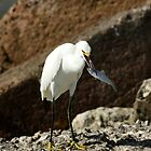 SNOWY EGRET WITH FISH by TomBaumker
