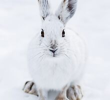 Little White Hare by Charles Dillane