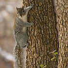 Western Grey Squirrel Climbing A Tree by Diana Graves Photography