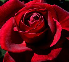 Red Rose by PhotoMel