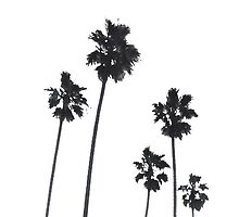 Palm Trees  by Lochlan Rovina