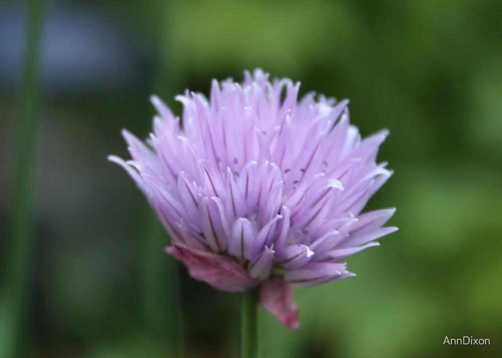 Allium schoenoprasum by AnnDixon
