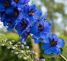 Sapphire Blues and Pale Greens - a Showy Delphinium by Georgia Mizuleva