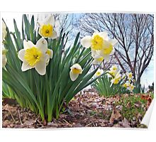Daffodils Of Spring Poster