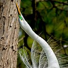 Egret Looking for Mate by imagetj