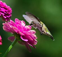 Simple Pleasures Hummingbird Delight by Christina Rollo