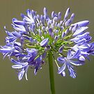Agapanthus Flower by DPalmer